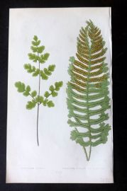 Lowe 1862 Antique Fern Print. Chelianthes Capensis etc 26